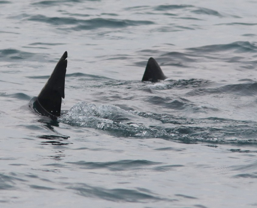 Basking Sharks 5.17