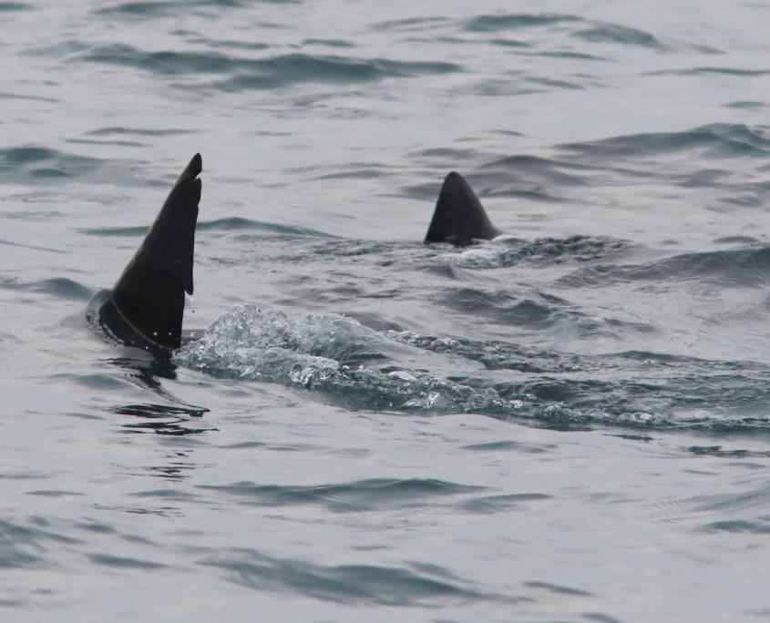 Basking Sharks 5.17