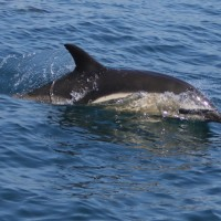 Common Dolphin with Mermaid Pleasure Trips Penzance Marine Boat Trips