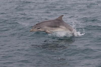 dolphin 35.17