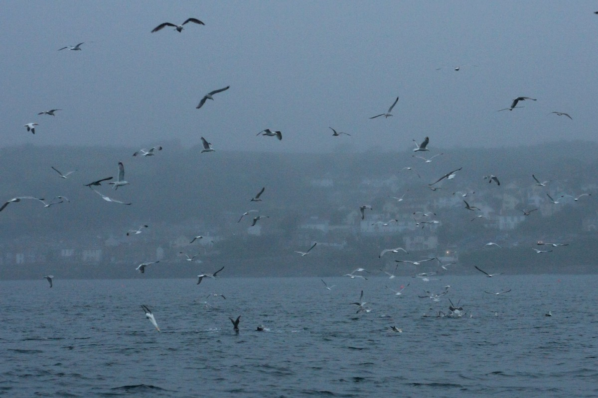 pilchard feeding frenzy